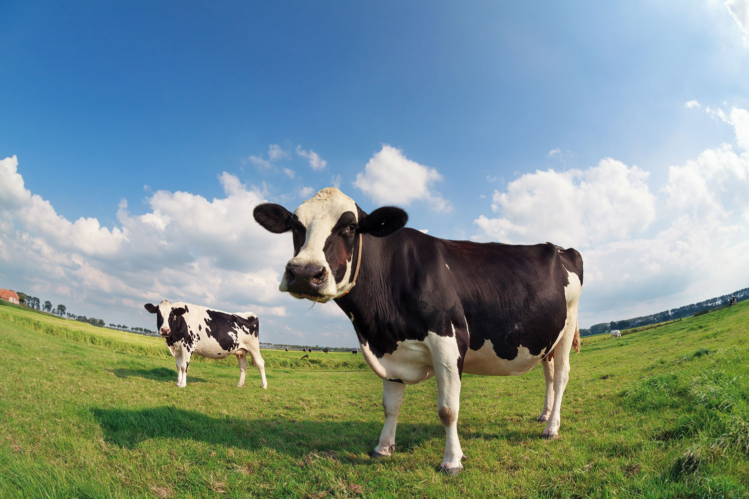 two-cows-on-green-pasture-on-sunny-day-PPYVB44.jpg